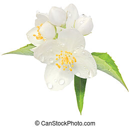 Jasmine flower mock orange blossom macro closeup isolated,...