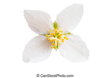 jasmine flower on white background