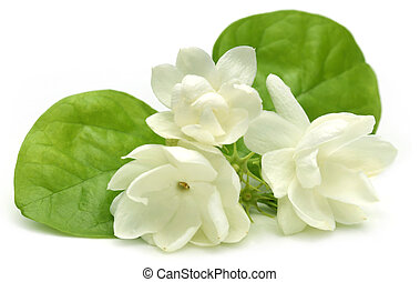 Jasmine flower over white background