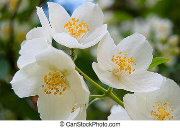 Jasmine flower under the sun - Jasmine flower in summer ...