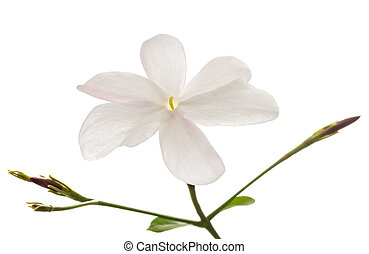 Jasmine flower with leaf isolated on white