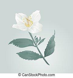 Jasmine flower with leaves vector