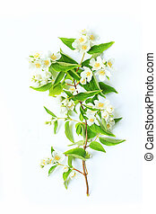 Jasmine flowers background on white