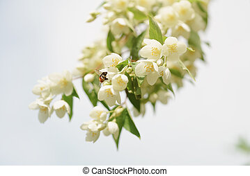 Jasmine flowers blossoming on bush against blue sky