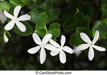 Fragrant five petal jasmine Carissa grandiflora flowers on branch