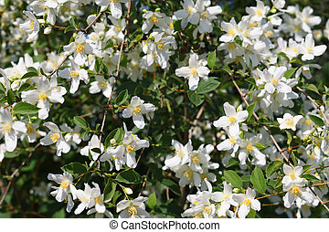 Jasmine flowers in garden
