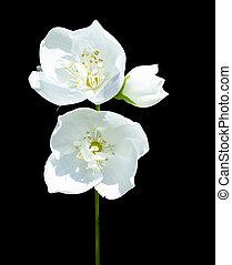 jasmine flowers isolated on black background