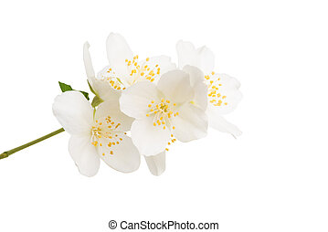 jasmine flowers isolated