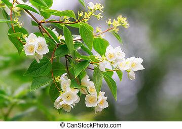 Jasmine flowers on a branch