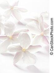 jasmine flowers over white studio background. High key soft image
