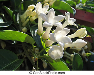 Jasmine flowers (Stefanotis)