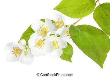 jasmine, fresco, bonito