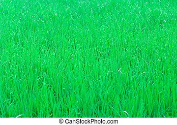 Jasmine green rice field