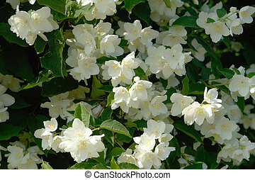 jasmine; - Jasmin growing near the house...