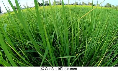 Jasmine rice field slow motion at sunset