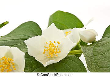jasmine flowers on a white background