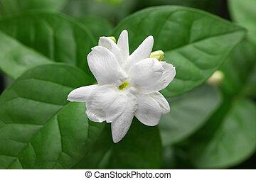 jasmine tea flower, arabian jasmine, jasminum sambac