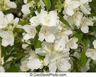 The jasmine blossom
