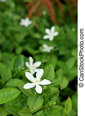 jasmine white flowers