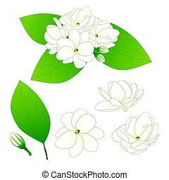 Jasminum sambac - Arabian jasmine. Vector Illustration. isolated on White Background.