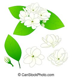 Jasminum sambac - Arabian jasmine. Vector Illustration....