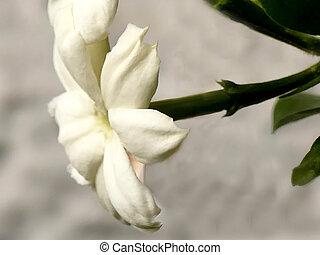 Jasminum sambac flower, closeup