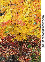 jasna farba, jesień, drzewo