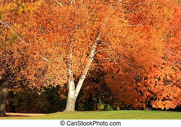 jasny, jesień, drzewo