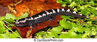jaspeado, -, alabama, salamandra