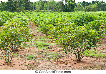 Jatropha plant in countryside of Thailand