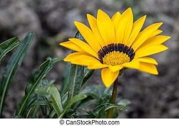 jaune, anglaise, fleurir, gazania, jardin
