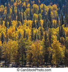 jaune, automne, altai, forêt, russia., montagnes
