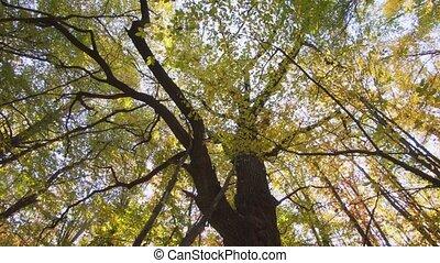 jaune, automne, mûrir, forêt, feuilles, arbre, ukrainien