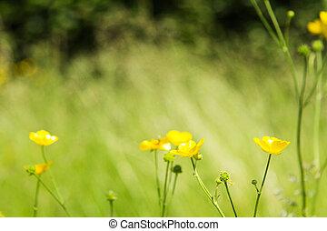 jaune, brouillé, clair, contre, fond, buttercupps