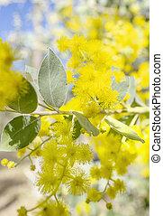 jaune, canisse, fleurs, argent, australien