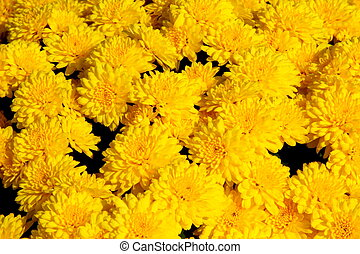 jaune, chrysanthème, fond