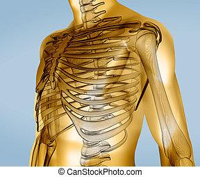 jaune, corps, numérique, visible, squelette