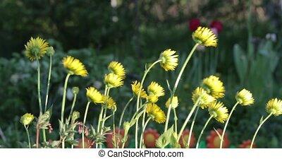 jaune, cour, peu, pendant, fleurs, jour
