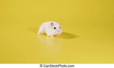 jaune, courses, rodent., arrière-plan., hamster