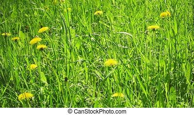 jaune, day., ensoleillé, pissenlits, fleurs, beau, pré