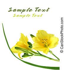 jaune, daylilies
