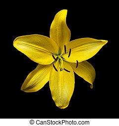jaune, daylily, hyperion, hemerocallis