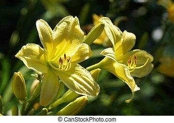 jaune, daylily