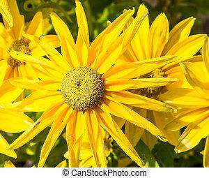 jaune, echinacea, fleur, fleur