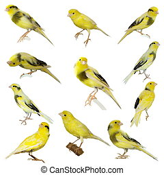 jaune, ensemble, serinus, canari, canaria