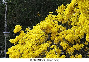 jaune, fleur, bleu, détail, ipe, ciel