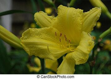 jaune, fleurir, brillant, daylilies, jardin