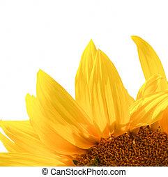 jaune, fond blanc, isolé, tournesol