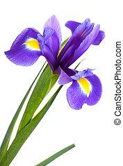 jaune, iris