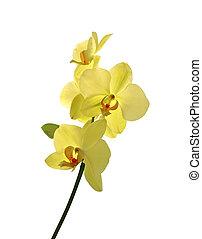 jaune, isolé, fond, beau, blanc, orchidée